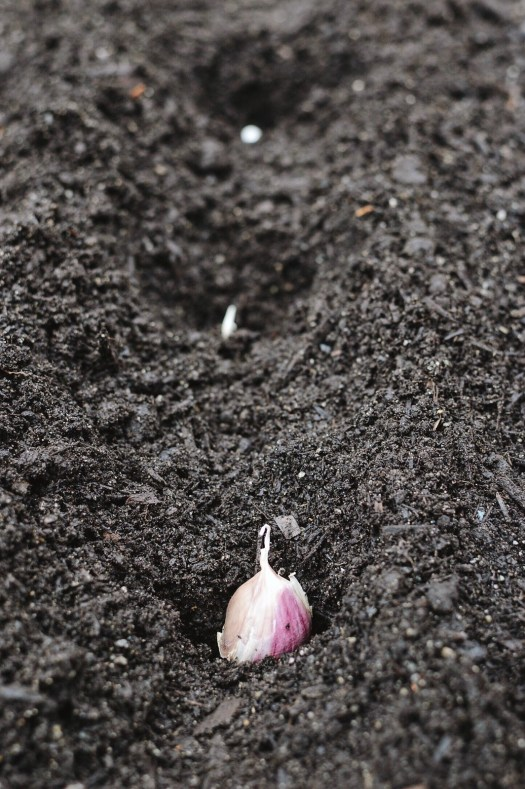 Garlic cloves planted 6 inches apart