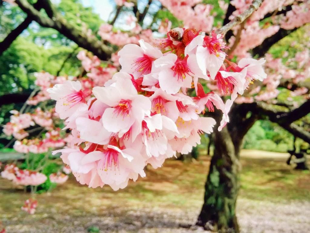 Shinjuku Gyoen Spring Sakura 2 - travel.joogo.sg
