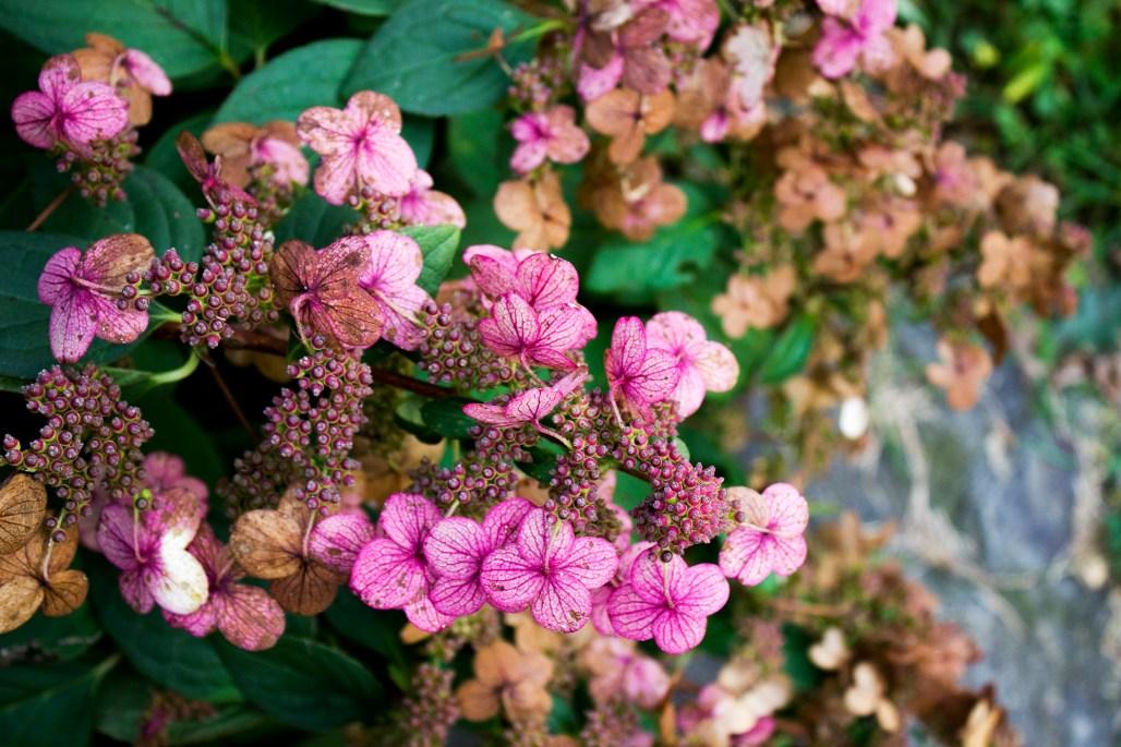 tyler-arboretum-pink-purple-hydrangeas