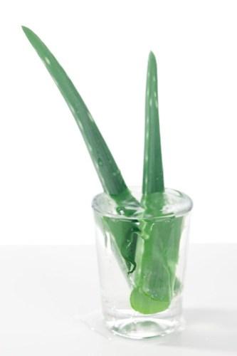 Aloe Vera Pflanze im Glas
