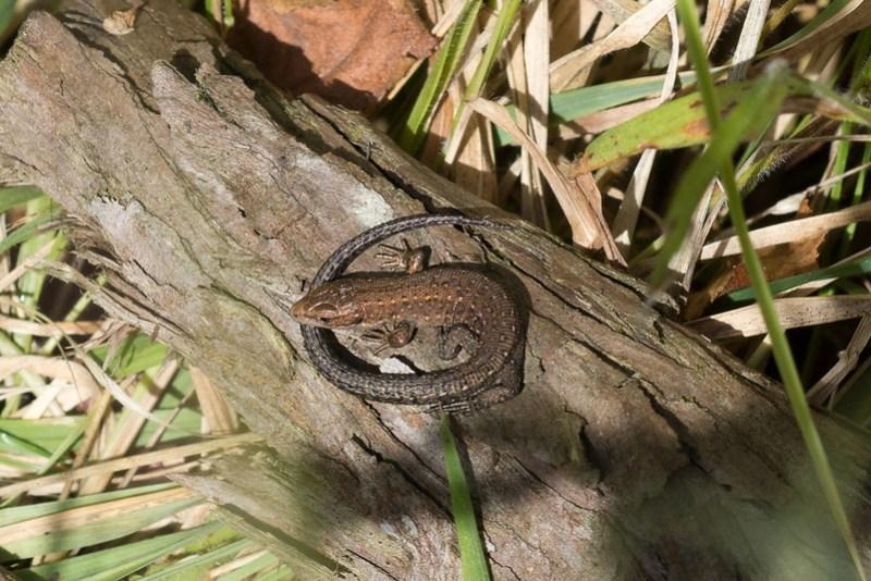 Young Common Lizard sunbathing on bark