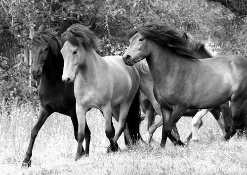 Icelandic Horses_4186
