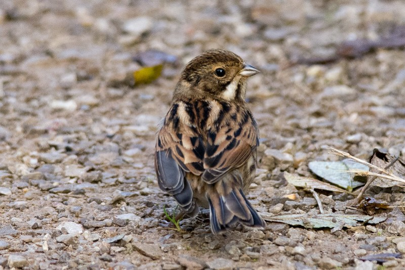 Young Reed Bunting