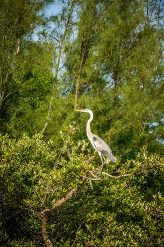 Great Blue Heron on the Indian River
