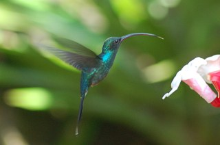 some hummingbirds coevolved with some flower species