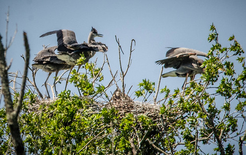 Heron Rookery at Lake Connestee-018