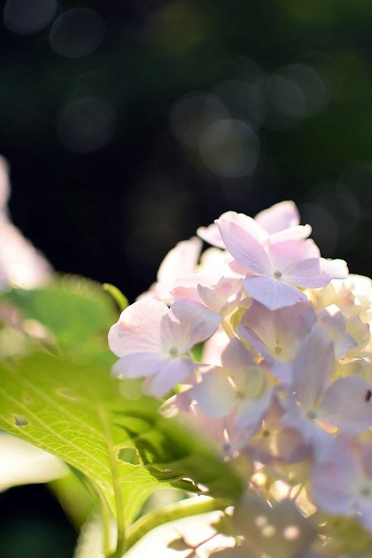 アジサイ(槇尾山)