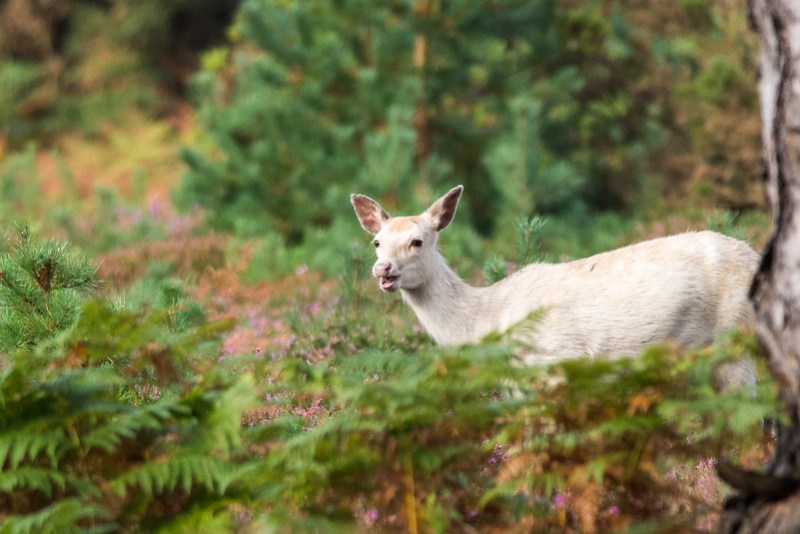 A white Sika hind