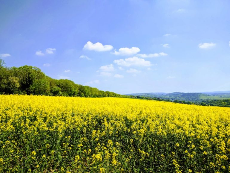 Field of rapeseed on the southern face of the ridge behind the house