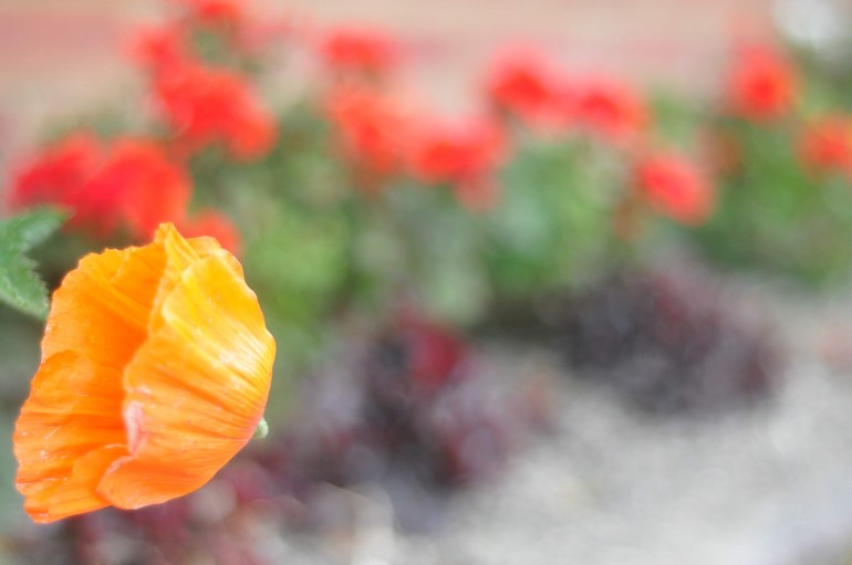 The last poppy, blowing in the wind