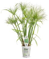 Image result for prince tut grass