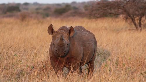 Head On I - Black Rhino