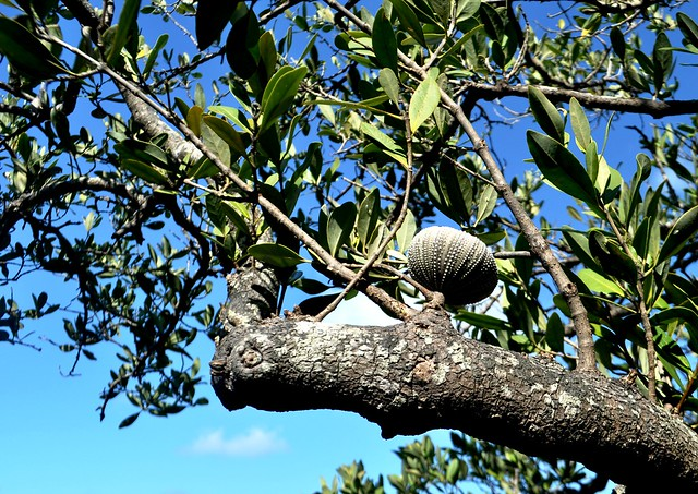 How odd! A sea urchin in a tree spotted during a wading trip with the Charlotte Harbor Environmental Center at Cedar Point, Englewood, Fla., May 16, 2015