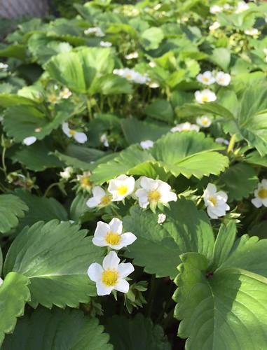 An abundance of strawberry flowers
