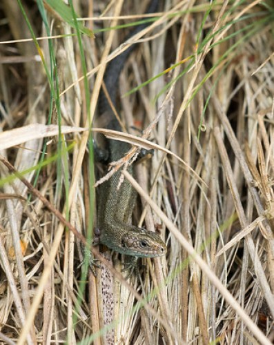 Young Common Lizard