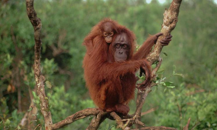 Image result for orangutan borneo
