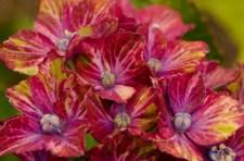 pistacio tri color hydrangea