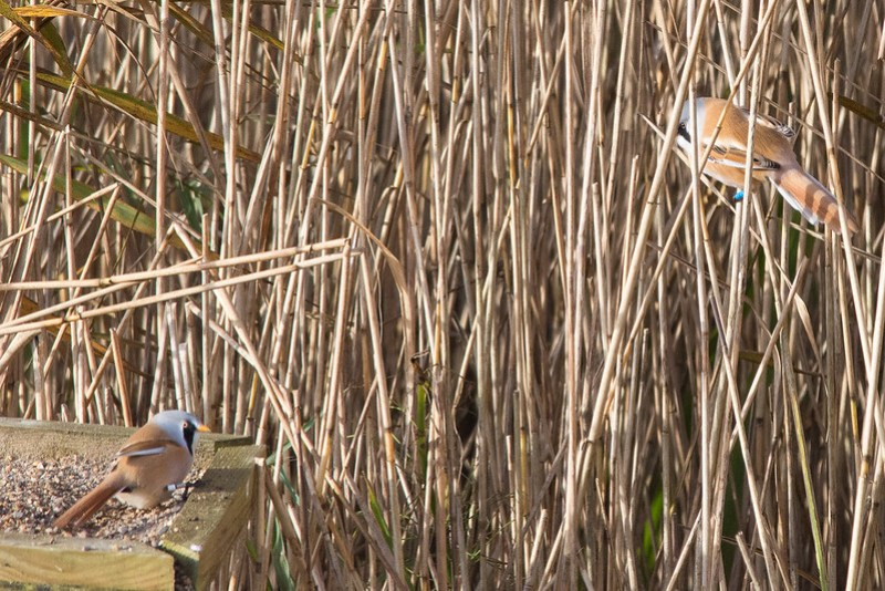 Male Bearded Tits at Leighton Moss