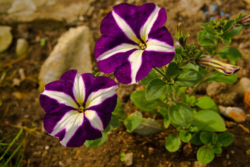 Petunias in a colourful pair