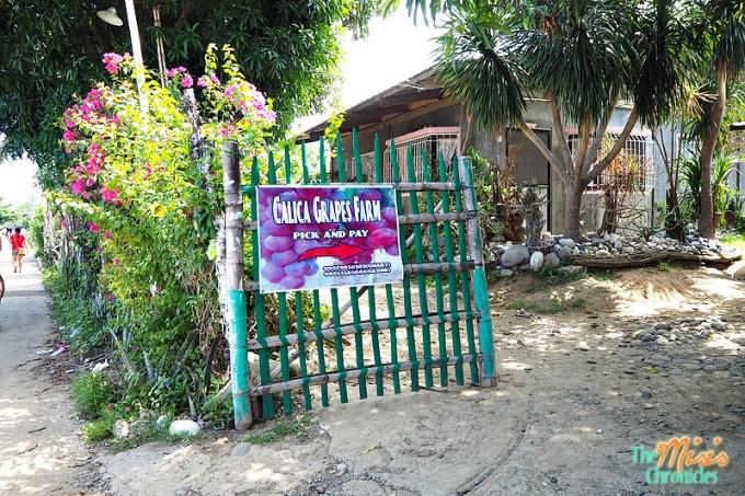 calica grapes farm