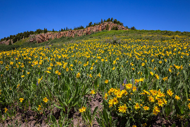 Uncompahgre Plateau Wildflowers