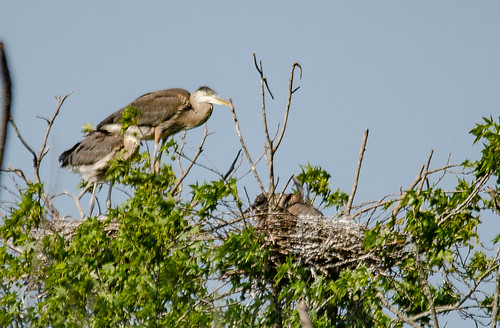 Heron Rookery at Lake Connestee-001