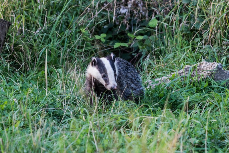 Badger enjoying the late evening sunshine