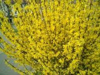 forsythia chinese new year