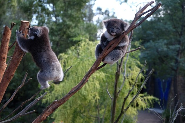 Skacząca koala