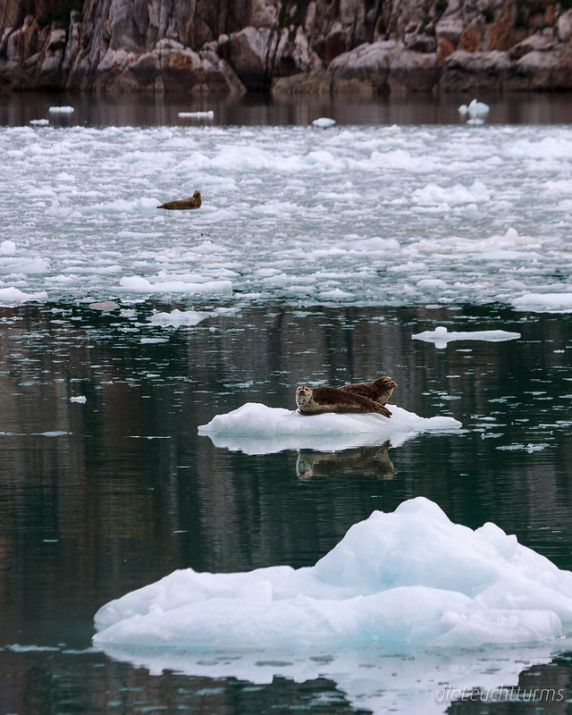 Harbor seals in Northwestern Bay