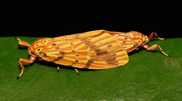 Footman Moth Pair (Barsine cf. striata, Lithosiini, Arctiinae, Erebidae)