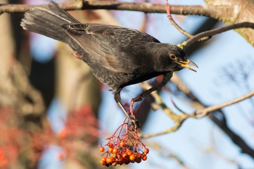 Male Blackbird watching his berry crop disappear.