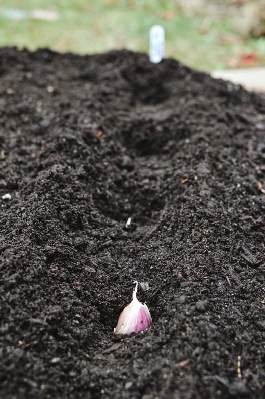 Planting garlic cloves