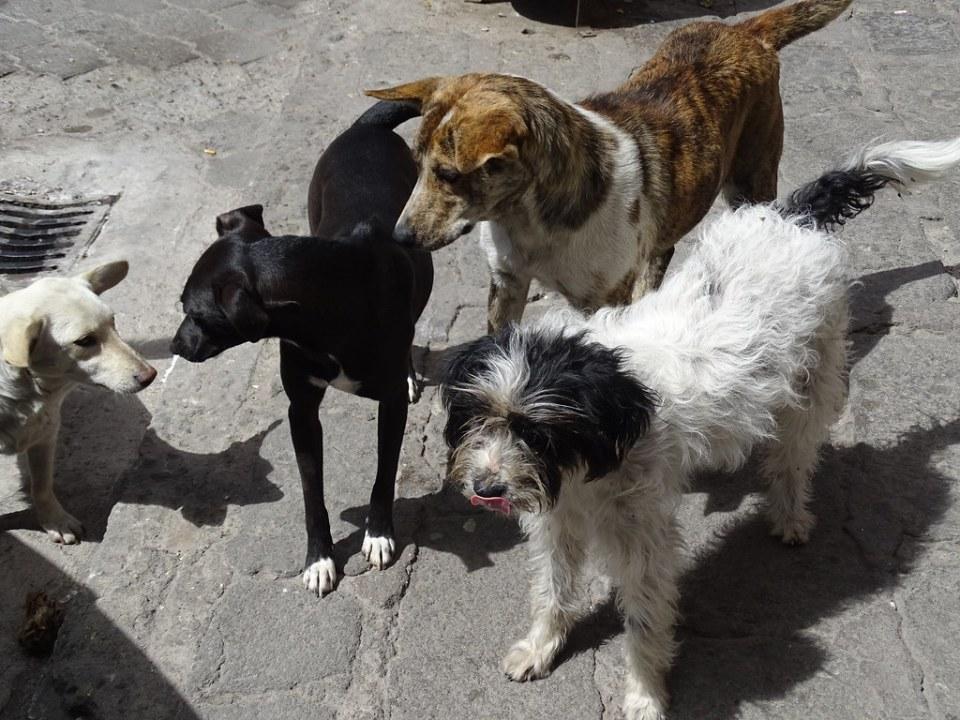 Alausi Patitas Callejeras atención perros callejeros Ecuador 11