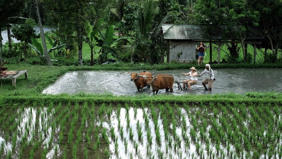 buffalo ride at rice paddies (1 of 25)