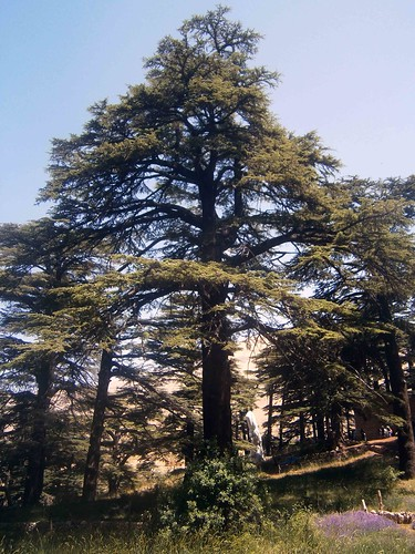 Cedars of God Tree