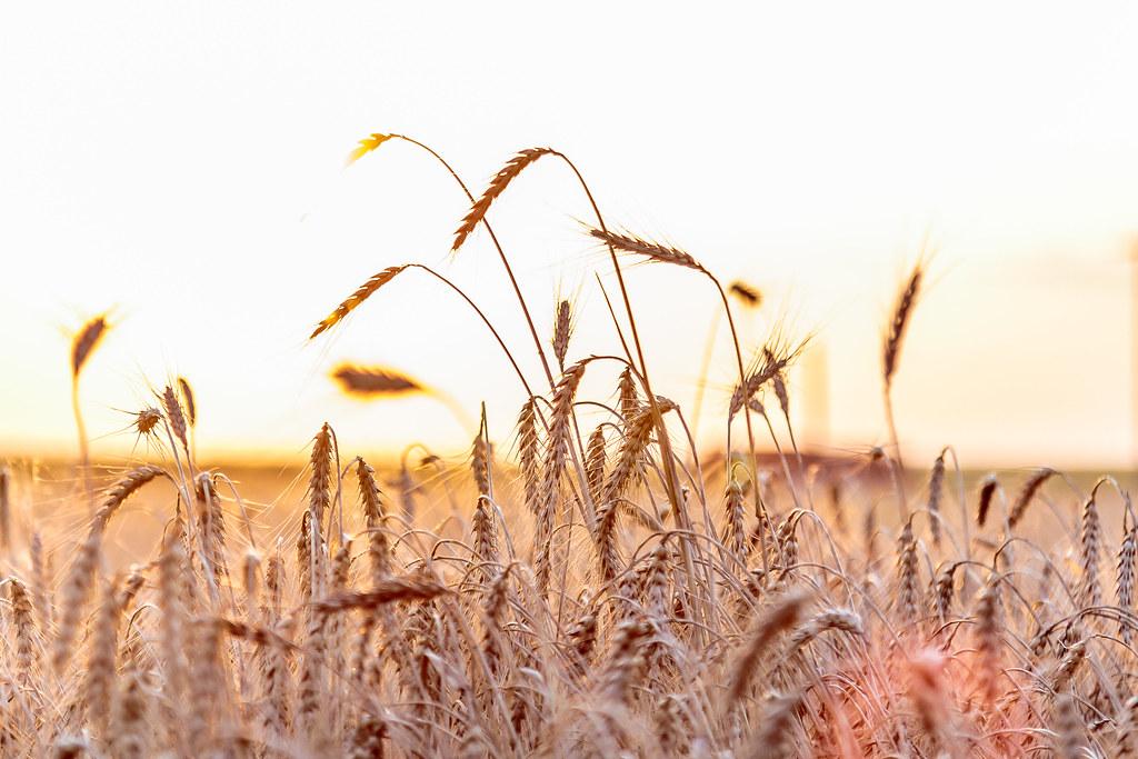 6-9-16 HPH Texas Harvest Photos - Laura-8
