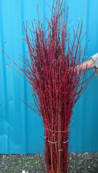 red dogwood branches