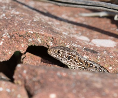 Sand Lizard amongst the pantiles