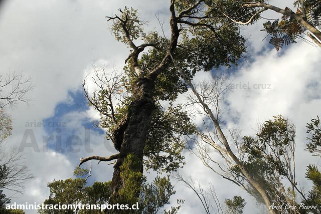 Coigüe (Nothofagus dombeyi) | Parque Nacional Chiloé