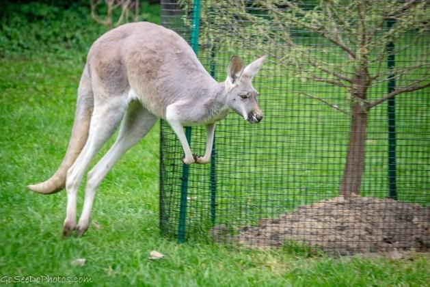 Hoppin Kangaroos
