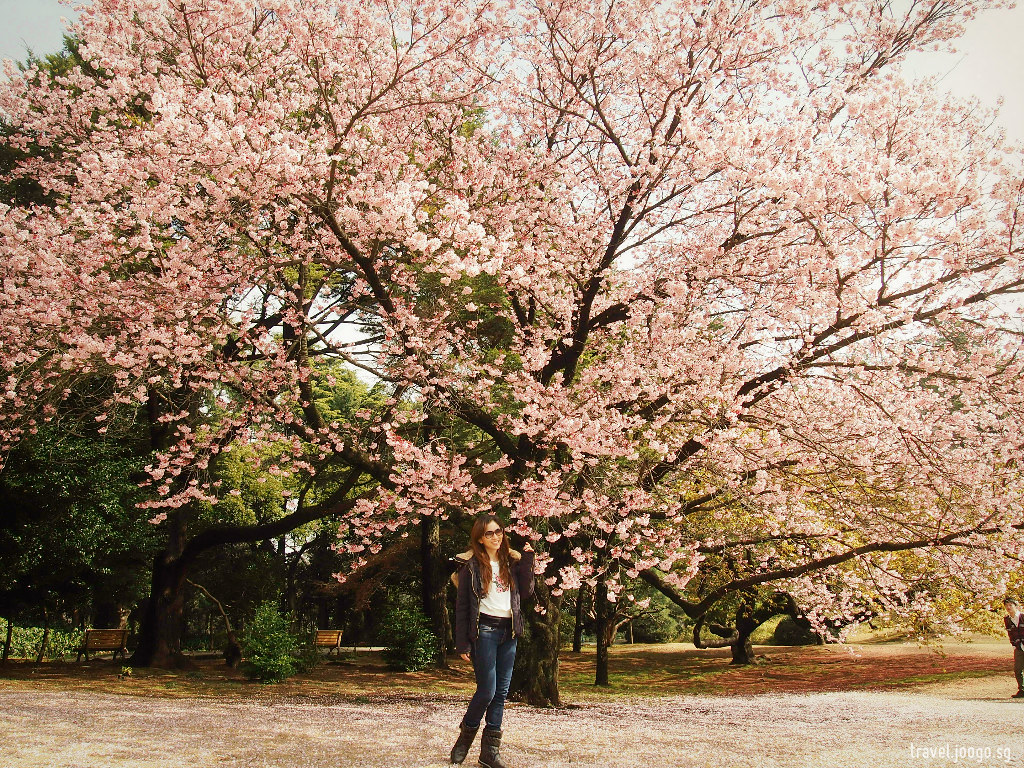Shinjuku Gyoen Sakura - travel.joogo.sg
