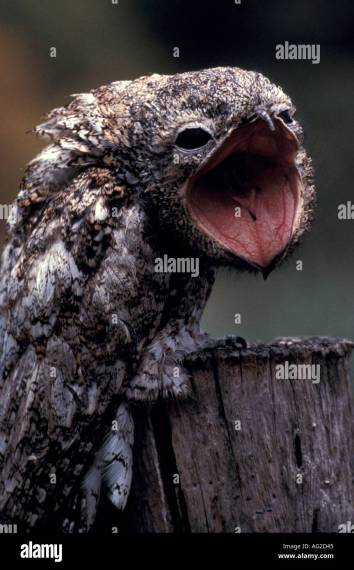 Bird Potoo Great potoo Stock Photo  1060164   Alamy Bird Potoo Great potoo