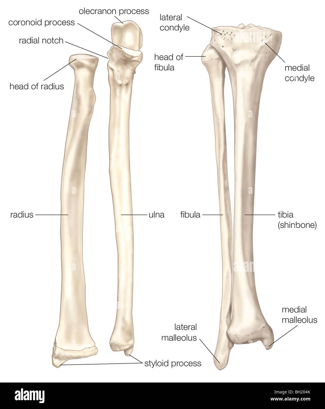 Left Tibia Fibula Anatomy