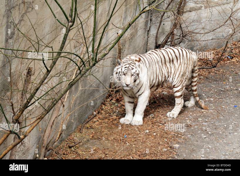 White Tiger in Beijing Zoo  China Stock Photo  32257805   Alamy White Tiger in Beijing Zoo  China