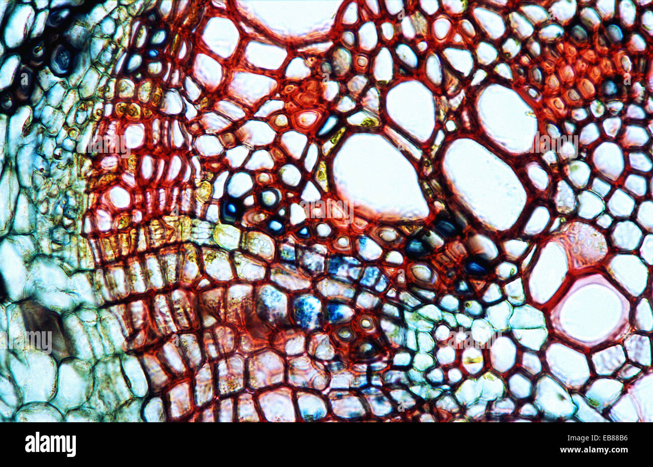 Dicotyledon Root Cross Section Xylem Phloem Pith Vascular Bundle Stock Photo Royalty Free