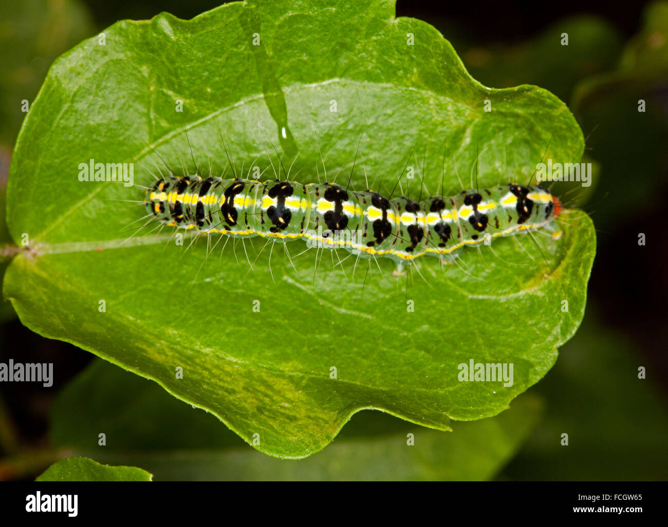 Green Black And Yellow Spots Caterpillar