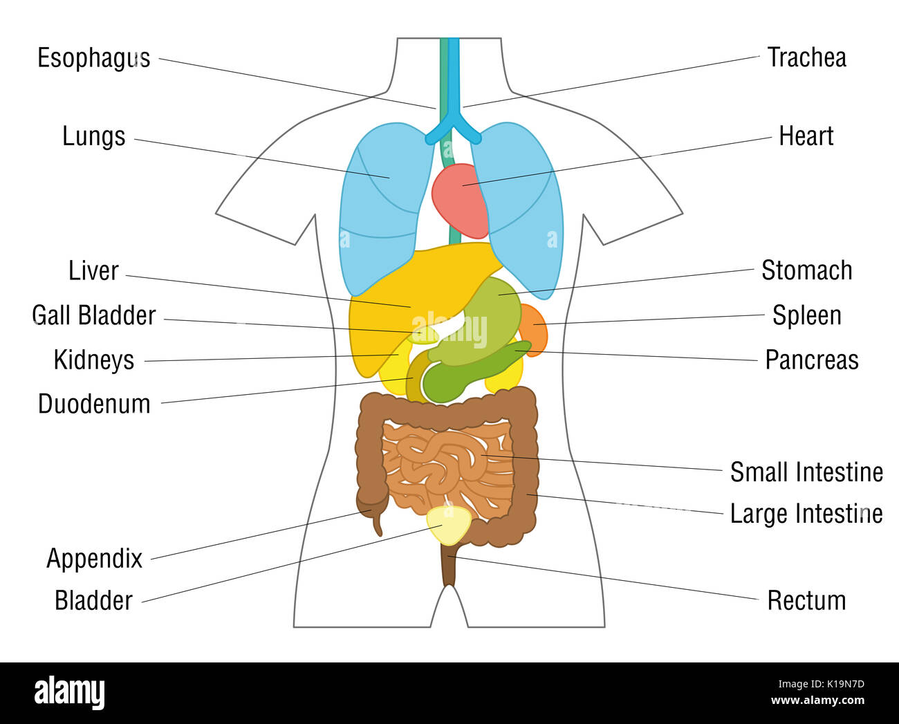 Pancreas Diagram Stock Photos Amp Pancreas Diagram Stock Images