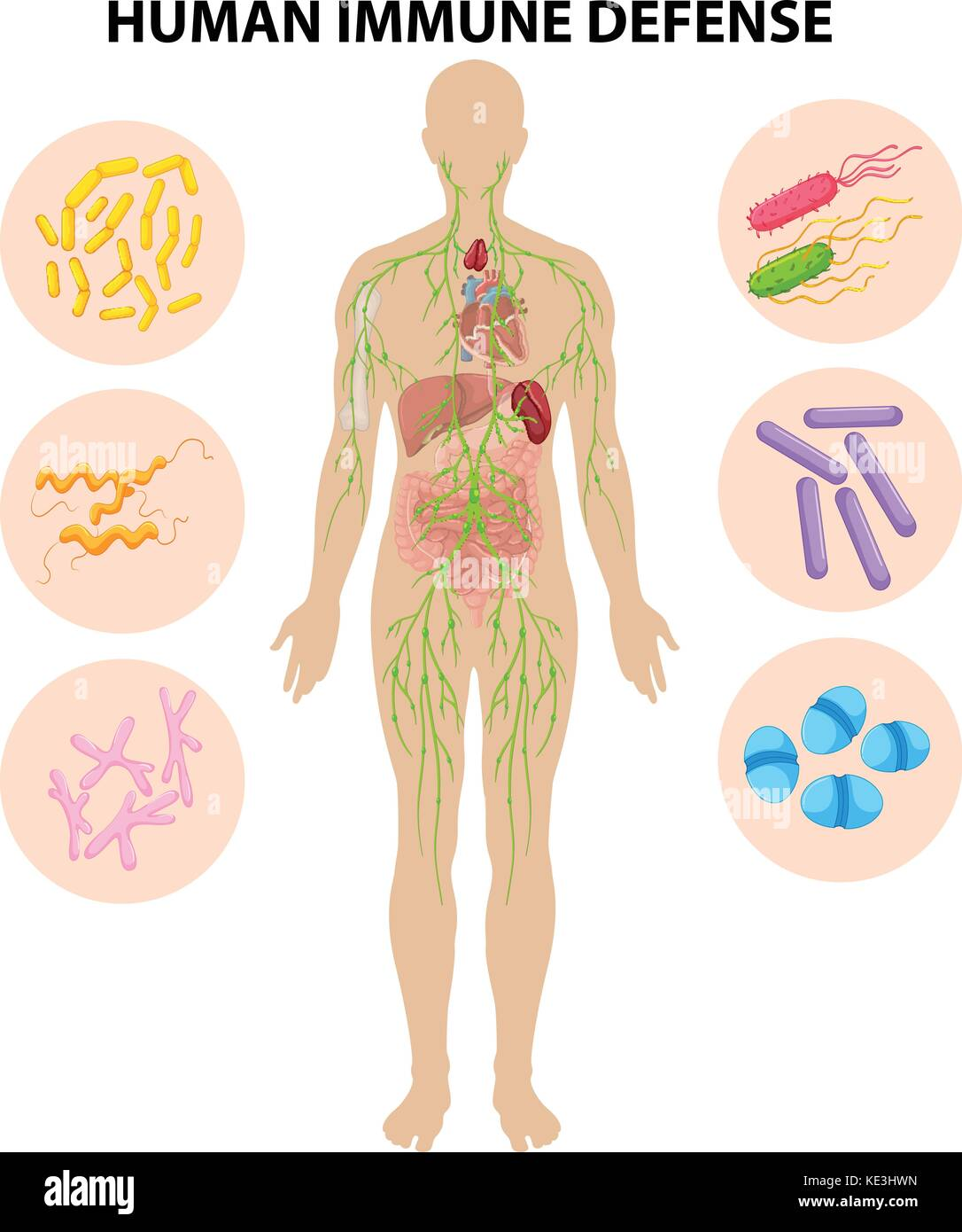 Human Body Immune System Illustration Stock Photos Amp Human