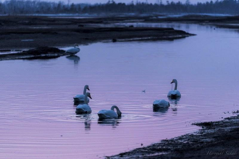 Swan of dusk